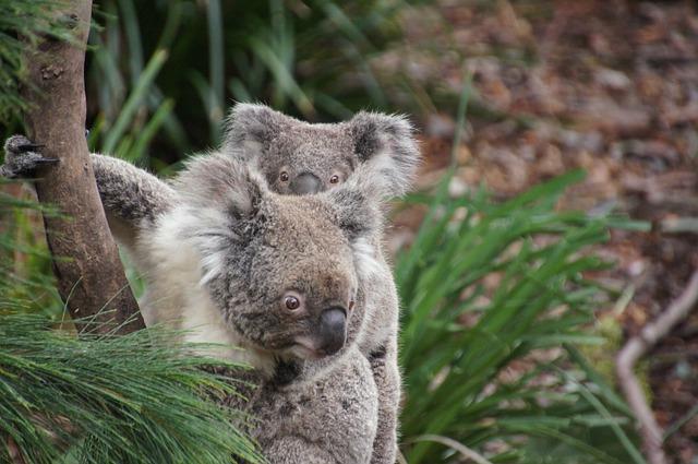 koala-226284_640